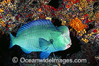 Double-headed Parrotfish photo