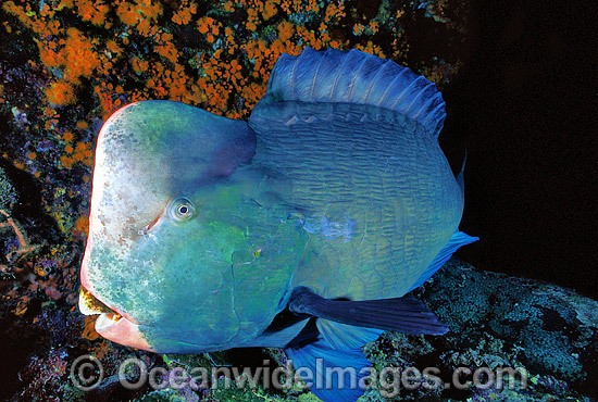 Humphead Parrotfish (Bolbometopon muricatum). Also known as Double-headed Parrotfish. Great Barrier Reef, Queensland, Australia