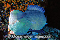 Humphead Parrotfish photo