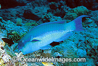 Blunt-headed Parrotfish feeding on hard coral photo
