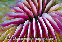 Mushroom Coral Fungia sp. Photo - Gary Bell