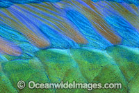 Bridled Parrotfish dorsal fin Scarus frentaus photo