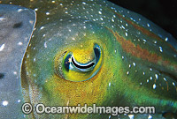 Broadclub Cuttlefish detail of eye Photo - Gary Bell