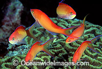 Schooling Redfin Anthias Photo - Gary Bell