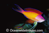 Redfin Anthias during courtship display Photo - Gary Bell