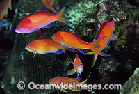 Schooling Redfin Anthias Pseudanthias dispar Photo - Gary Bell