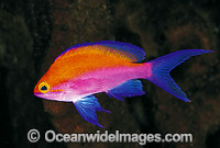 Yellow-backed Basslet Pseudanthias bicolor Photo - Gary Bell