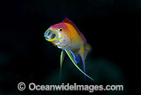 Redfin Anthias courtship display Photo - Gary Bell