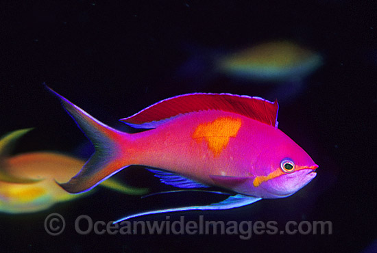 Redfin Anthias (Pseudanthias dispar) - male during courtship display. Great Barrier Reef, Queensland, Australia