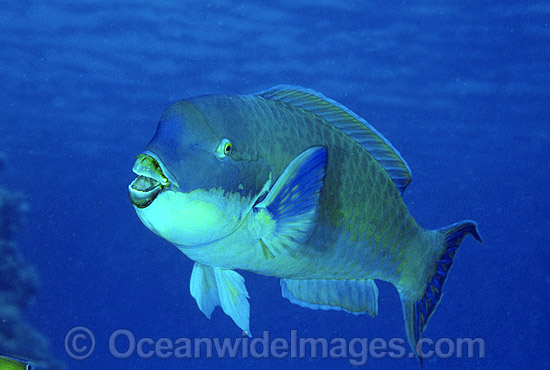 Blunt-headed Parrotfish Scarus microrhinos photo