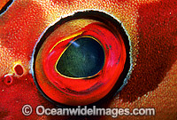 Black-tipped Grouper eye Photo - Gary Bell