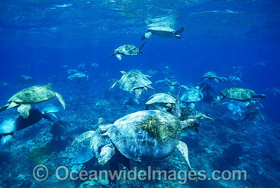 Unusual aggregation of Green Sea Turtles (Chelonia mydas) during annual breeding season. Raine Island, Great Barrier Reef, Queensland, Australia. Found in tropical and warm temperate seas worldwide. Listed on the IUCN Red list as Endangered species.