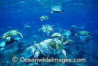 Unusual aggregation of Green Sea Turtles Photo - Gary Bell