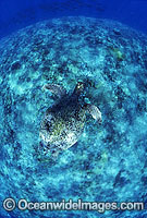 Green Sea Turtle swimming over coral reef Photo - Gary Bell