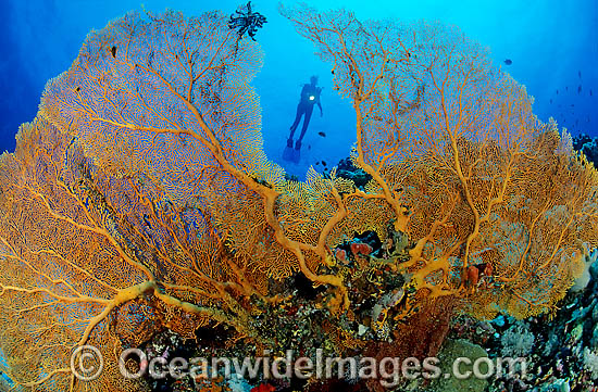 Scuba Diver and yellow Fan Coral