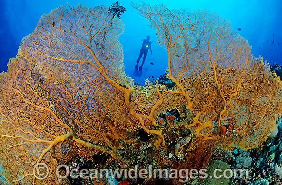 Fan coral images photos scuba diver and yellow fan coral photo publicscrutiny Images