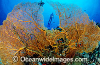 Scuba Diver and yellow Fan Coral photo