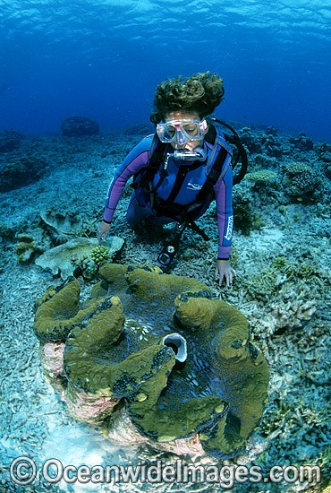 Scuba Diver with Giant Clam (Tridacna gigas). Great Barrier Reef, Queensland, Australia