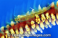 Seawhip Goby on Whip Coral Photo - Gary Bell