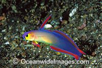 Purple Fire Goby or Elegant Dartfish Photo - Gary Bell