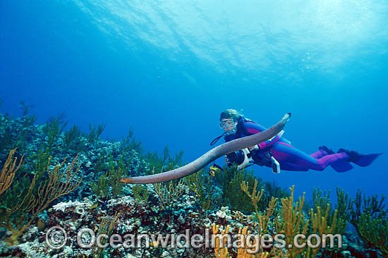 Scuba Diver photographing Olive Sea Snake (Aipysurus laevis) searching for prey. Also known as Golden Sea Snake. Great Barrier Reef, Australia