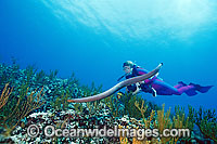 Scuba Diver photographing Olive Sea Snake Photo - Gary Bell
