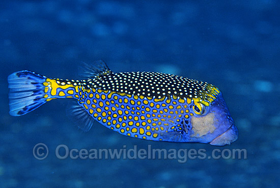 Spotted Boxfish (Ostracion meleagris) - male. Also known as Black Boxfish. Great Barrier Reef, Queensland, Australia