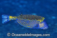 Spotted Boxfish Ostracion meleagris photo