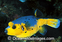 Black-spotted Pufferfish Arothron nigropunctatus Photo - Gary Bell