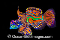 Mandarin-fish Synchiropus splendidus photo