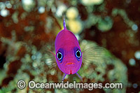 Royal Dottyback photo