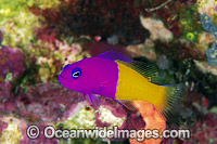 Royal Dottyback Pseudochromis paccagnellae photo