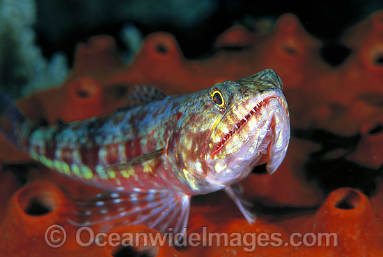 Variegated Lizardfish (Synodus variegatus). Great Barrier Reef, Queensland, Australia