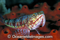 Variegated Lizardfish Great Barrier Reef Photo - Gary Bell