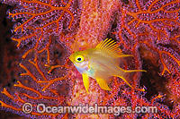 Golden Damsel in fan coral