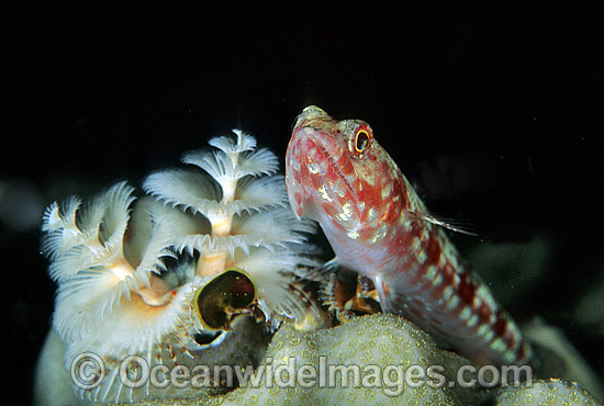 Variegated Lizardfish (Synodus variegatus) - juvenile resting beside a Christmas Tree Worm. Great Barrier Reef, Queensland, Australia