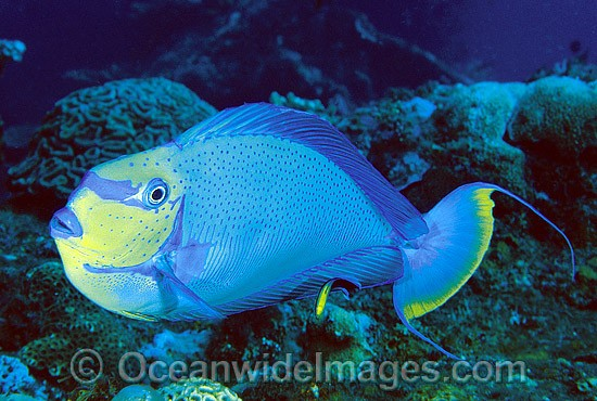 Big-nose Unicornfish (Naso vlamingii) - male. Also known as Vlaming's Unicornfish. Great Barrier Reef, Queensland, Australia