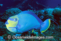 Big-nose Unicornfish Naso vlamingii Photo - Gary Bell
