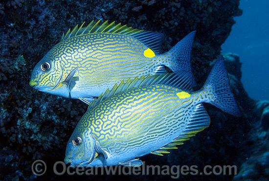 Lined Rabbitfish (Siganus lineatus). Also known as Golden-lined Spinefoot. Great Barrier Reef, Queensland, Australia