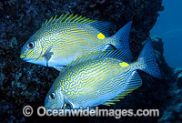 Lined Rabbitfish Siganus lineatus Photo - Gary Bell
