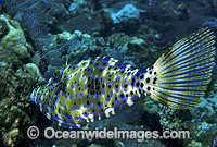 Scribbled Leatherjacket Aluterus scriptus Photo - Gary Bell