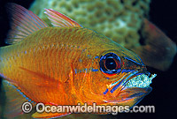 Ring-tailed Cardinalfish brooding eggs in mouth Photo - Gary Bell