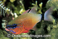 Cardinalfish brooding eggs in mouth Photo - Gary Bell