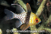 Pajama Cardinalfish Sphaeramia nematoptera photo