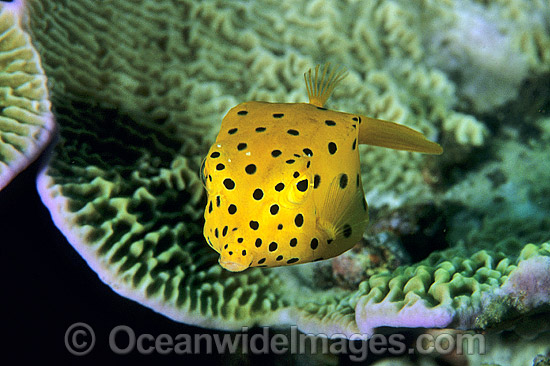 Yellow Boxfish (Ostracion cubicus) - juvenile. Great Barrier Reef, Queensland, Australia Photo - Gary Bell