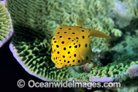 Yellow Boxfish Ostracion cubicus juvenile photo