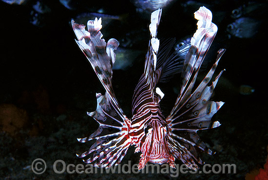 Common Lionfish (Pterois volitans). Also known as Firefish. Great Barrier Reef, Queensland, Australia