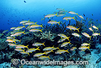 Schooling Yellow-striped Goatfish Photo - Gary Bell
