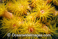 Sunshine Coral Great Barrier Reef photo