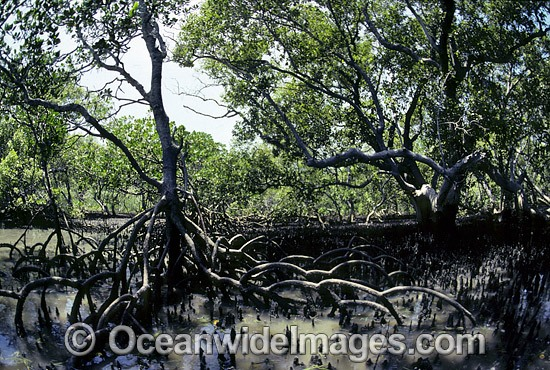 Mangrove trees (Rhizophora sp.) with exposed roots during low tide. Cleveland, Queensland, Australia